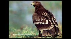 Ptaki Drapieżne - Odgłosy ; ``Jastrząb (Habicht)``, ``Orzeł przedni (Ste...