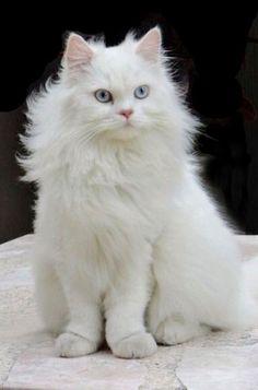 Beautiful in white fur White Persian Kittens, White Kittens, Cats And Kittens, I Love Cats, Crazy Cats, Cool Cats, Turkish Angora Cat, Animal Gato, Cat Reference