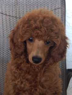 Melody @ West Coast Poodles Red Poodles, Mini Poodles, Standard Poodles, Red Poodle Puppy, Poodle Puppies, Phantom Poodle, Pet Treats, Bichon Frise, Dog Grooming