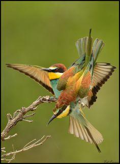 European Bee-eater by Frik Erasmus1, via Flickr