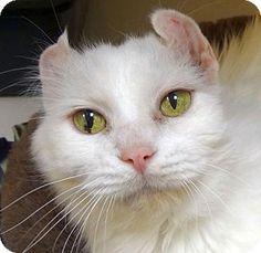 St. Paul, MN - Domestic Longhair. Meet Snowshoe, a cat for adoption. http://www.adoptapet.com/pet/12616851-st-paul-minnesota-cat