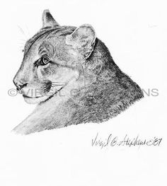 Mountain Lion or Cougar, Arizona Big Ten Game animals pencil drawing by western Artist Virgil C. Stephens