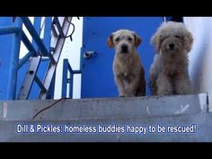 Dill & Pickles: homeless buddies happy to be rescued! Please share. Published on Oct 9, 2015 Please make a $5 donation to help us save more lives: http://www.HopeForPaws.org To adopt Dill & Pickles, please visit: