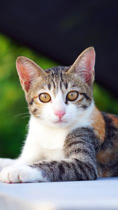 Cute Kittens, Cats And Kittens, Pretty Cats, Beautiful Cats, Animals Beautiful, Animals And Pets, Baby Animals, Cute Animals, Cat App