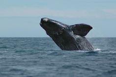 Southern right whale (Eubalaena australis), Península Valdés, Argentina by Jordi Oller Macia, via 500px