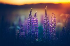 """Light Of Summer - Purple Lupines bathing in the last light of the summer day.  Get a 30% discount on any print order on my website. Use code """"summer2016"""" when ordering.  <a href=""""http://www.joniniemela.com"""">Website</a> 