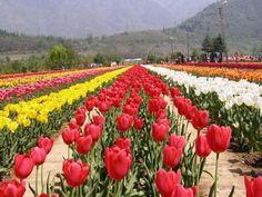 Pictures of Tulip Garden images, pictures of Srinagar Images    http://www.hoparoundindia.com/jammu-and-kashmir/srinagar-attractions/tulip-garden.aspx#