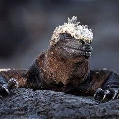 The marine iguana can hold its breath for 15 minutes. These 1.2-m long creatures live exclusively on the Galapagos Islands off the coast of Ecuador. They are one of the few sea-going lizards in the world, making brief excursions to feed on the green sea lettuce that grows on submerged rocks 5-m or more below the surface.