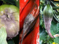 Combaterea bolilor si daunatorilor in spatii protejate Brunei, Stuffed Peppers, Vegetables, Food, Farm Gate, Salads, Stuffed Pepper, Essen, Vegetable Recipes