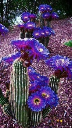 purple cactus flowers – cacti- cactus garden – Best Garden Plants And Planting Desert Flowers, Desert Plants, Exotic Flowers, Beautiful Flowers, Beautiful Pictures, Cactus With Flowers, White Flowers, Cacti And Succulents, Planting Succulents