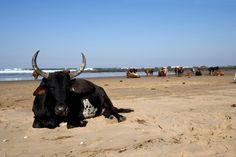 Beach cows.