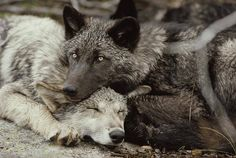 Twenty week old Gray wolf pups (Canis lupus) from the Sawtooth pack - Pictures by Jim and Jamie Dutcher Wolf Love, Beautiful Creatures, Animals Beautiful, Cute Animals, Wild Animals, Baby Animals, Wolf Spirit, Spirit Animal, Wolf Pup
