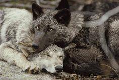 Twenty week old Gray wolf pups (Canis lupus) from the Sawtooth pack - Pictures by Jim and Jamie Dutcher Wolf Love, Wolf Spirit, Spirit Animal, Beautiful Creatures, Animals Beautiful, Animals And Pets, Cute Animals, Wild Animals, Baby Animals