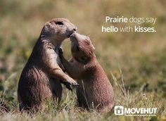 Prairie dogs say hello with kisses.