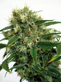 Barney's Farm Phatt Fruity is an innovative and eclectic hybrid that gets its genetics from cannabis strains found in Afghanistan, North India and Mexico. One could say that it is a world traveller in its own right and the end product takes users to exotic places as well.  http://www.cannabis-seeds-store.co.uk/feminised-seeds/barney-39-s-farm/phatt-fruity-feminised-seeds/prod_274.html