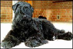 El Terrier negro ruso o Tchiorny terrier, es un perro grande, hermoso y un gran perro de guardia y defensa, desarrollado como perro guardián y policía.