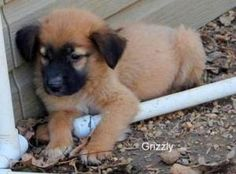 Grizzly is an adoptable Leonberger Dog