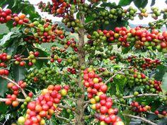 La planta del Café, Coffea arabica-Cafeto