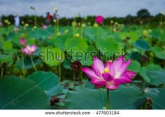 Nice pink lotus with blurry nature background