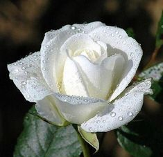 White rose flower meaning,white rose flower, white rose symbolic, White Flowers White Rose Meaning - Without vibrant color to upstage it. Love Rose, My Flower, Pretty Flowers, White Flowers, Red Roses, Send Flowers, Flower Bouquets, Wedding Bouquets, Wedding Flowers