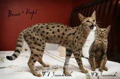 Showing different generations of Savannah Cats