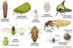 Image result for leafhopper life cycle