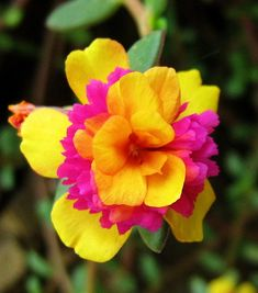 ~verdolaga bicolor / two-colored Portulaca. Portulaca is sun loving and grows well in hot direct sunlight up to 100 degrees F. Cut a stem, plant in potting soil and it will re-root. From one basket, I can make three or four in a three week period. It makes for a great hanging basket.