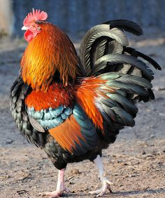 We just don't often think of Roosters when we think of beautiful birds.  But hey, look at this little guy.