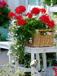 Red geraniums with feverfew and fleabane (erigeron) in lovely wicker basket. Container Flowers, Container Plants, Container Gardening, Potted Plants, Garden Plants, Garden Art, Beautiful Flowers, Beautiful Gardens, Red Geraniums