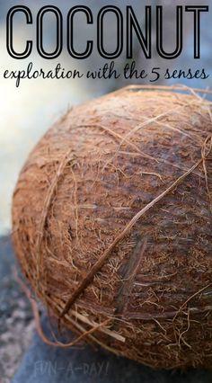 exploring coconuts during a five senses activity