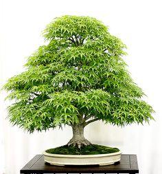 Érable japonais Sharps pygmy, Acer palmatum sharps pygmy