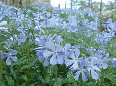 Wild Woodland Phlox In My Garden. Please enlarge to see dewdrops on phlox and buds unfurling.  Photographer: Cynthia Stammers