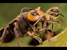 Buddha, Bees and the Giant Hornet Queen - BBC Natural World.............. The BALANCE of NATURE