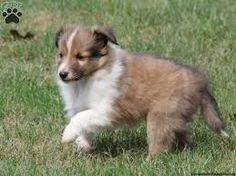 Image result for variety of shelties