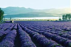 Young Living Lavender Farms in Mona, Utah. I must go here in July for the full bloom!!