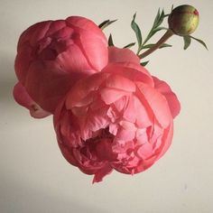 """I think that perhaps the reason we're drawn to the peony like the eager bees and ants that nestle inside their blooms is because it is the closest thing we have to a phoenix. These huge heavy bursting blooms are an access point to wonder, to that unwavering truth that spring comes again even when our hearts try to convince us it won't."""