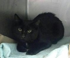 PERIDOT - A1096018 - - Brooklyn  Please Share:***TO BE DESTROYED 11/13/16***PURRFECTLY HEALTHY PANTHER NEEDS RESCUE -  Click for info & Current Status: http://nyccats.urgentpodr.org/peridot-a1096018/