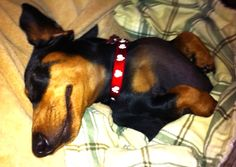 Zzzzzzzzzzz.........dachshund snooze