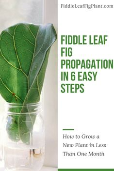 may be intimidated by propagation, but it's actually easy. You should be pruning your existing fiddle leaf fig tree anyway, so why not try to root a few cuttings in water? It only takes weeks for the roots to get started. Outdoor Plants, Garden Plants, Water Plants Indoor, Tree Garden, Bonsai Garden, Aquatic Plants, Fig Leaves, Plant Leaves, Ficus Lyrata