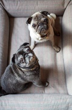 Pug buddies. Old friends.