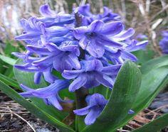 Jacinto: una bulbosa muy agradecida - http://www.jardineriaon.com/jacinto-una-bulbosa-muy-agradecida.html