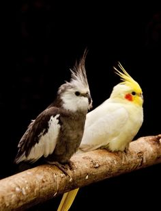 Two isolated cockatiels on a perch. - Parrot - Australian