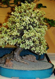 Portulacaria afra variegata Bonsai (by plantmanbuckner) Jade Plant Bonsai, Succulent Bonsai, Juniper Bonsai, Jade Plants, Bonsai Art, Bonsai Plants, Bonsai Garden, Planting Succulents, Bonsai Trees