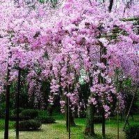 TR2730, TR2731, TR2732, Prunus subhirtella Pendula, weeping cherry, weeping cherries, weep cherry, weeping chery, weeping cheries, ornamental, flowering, Higgins Weeping Cherry tree, accent, adaptable to poor soil, tree