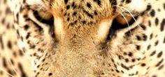 Leopard Travel Destinations, Animals, Animales, Animaux, Destinations, Animais, Animal