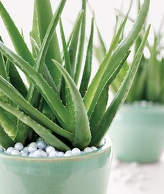 Add marbles to the top of potting soil to add color to your plants!  I have lots of Aloe Plants!!