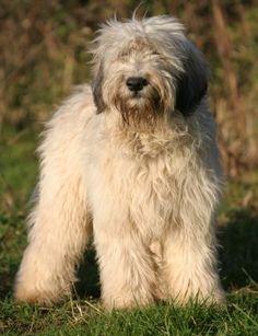 lowland sheepdog