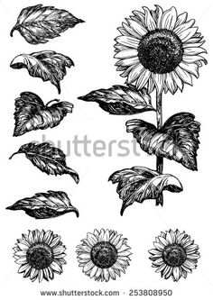 Sunflower. Vector set of hand drawn sunflowers and leaves isolated on white background at retro style