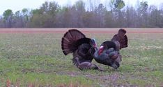 Hail Mary Gobbler Archery Shot is Worth a Minute of Your Time Quail Hunting, Deer Hunting Tips, Turkey Hunting, Bow Hunting, Hail Mary, Animal Games, Get Outside, Archery, Cute Pictures