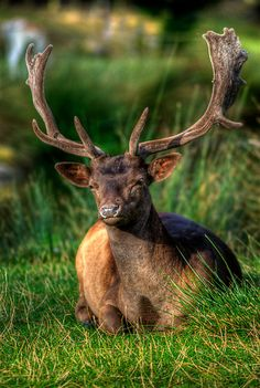 """Fallow Deer by Yhun Suarez, via RedBubble. Deer Photography, Digital Photography, Beautiful Creatures, Animals Beautiful, Water Deer, Nature Animals, Wild Animals, Fallow Deer, Majestic Animals"